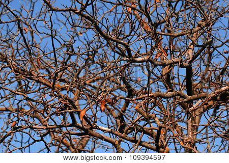 Branches Of Naked Deciduous Trees