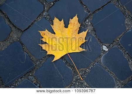 One Fallen Maple Leaf