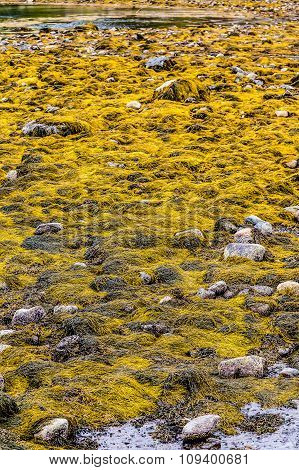 Yellow Seaweed At Low Tide