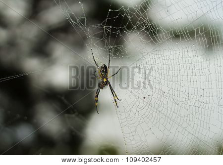 Golden Orb Spider And Web After The Rain