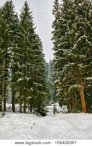 Forest and footprints in snow