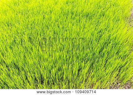 Rice Field Background And Texture