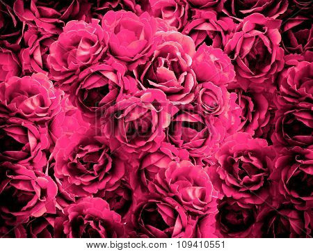 Bush Of Pink Rose Flowers Background High Contrasted With Vignetting Effect
