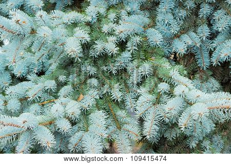 Branches Blue Spruce Closeup