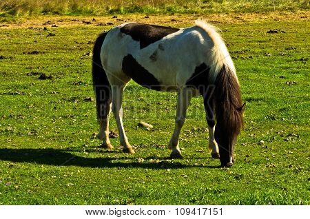 Icelandic horse on a meadow near Akureyri at sunny summer day