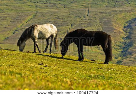 Icelandic horses on a meadow over the Akureyri fjord at sunny summer day