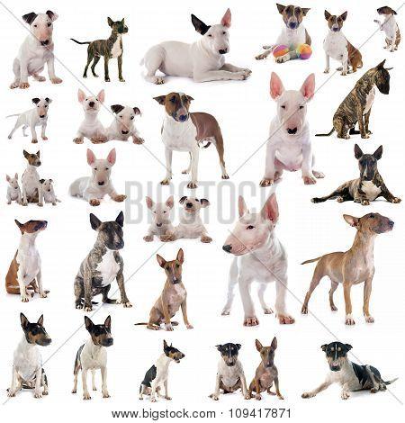 Group Of Bull Terrier