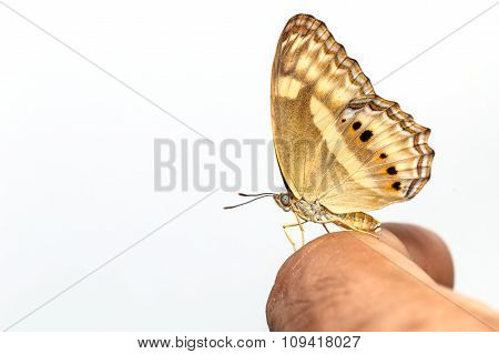 Peacock Pansy Butterfly On Human Finger