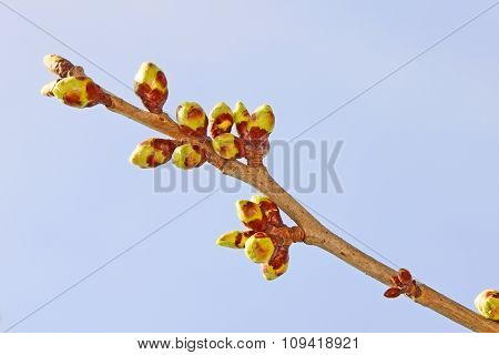 Twig of sweet cherry buds