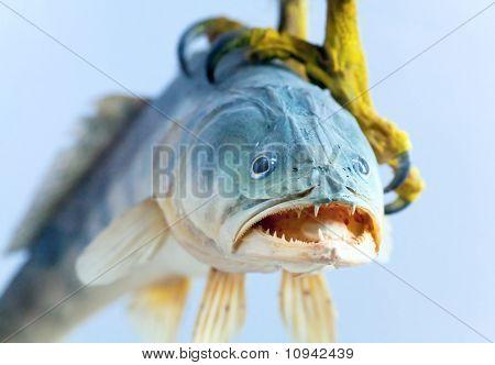 Fish In Talon Bird Of Prey