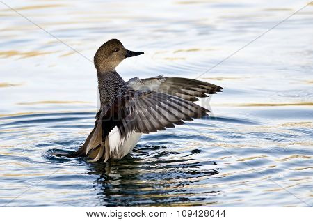 Gadwall Stretching Its Wings On The Water