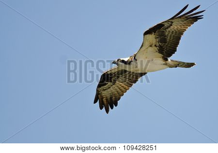 Lone Osprey Flying In A Blue Sky