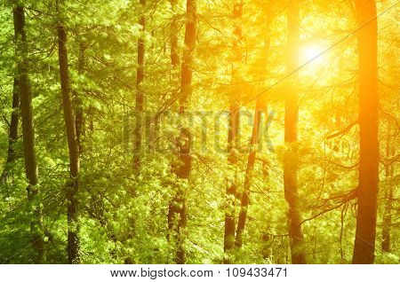 Beautiful sunset in the woods, pine forest at Shimla, the capital city of Himachal Pradesh, India.