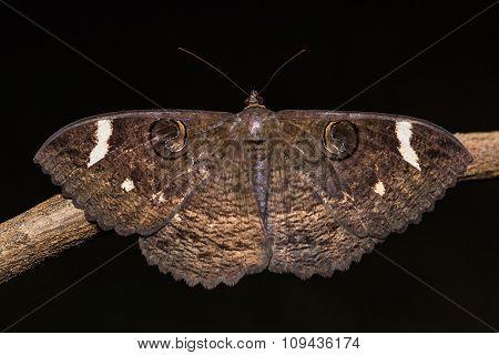 Erebus Hieroglyphica Moth
