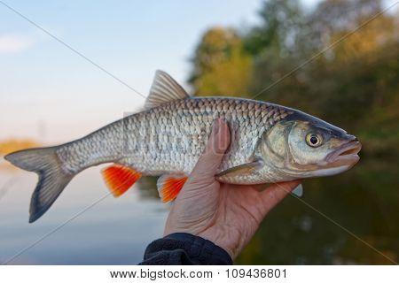 Chub in fisherman's hand, autumn scenics