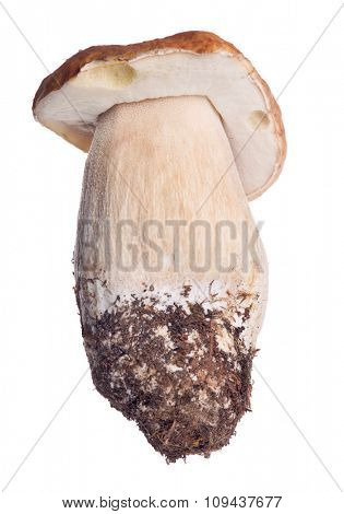 cep mushroom isolated on white background