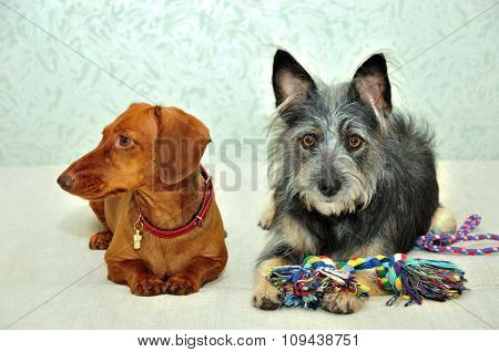 Two dogs. Smooth-haired dachshund and mongrel dog.