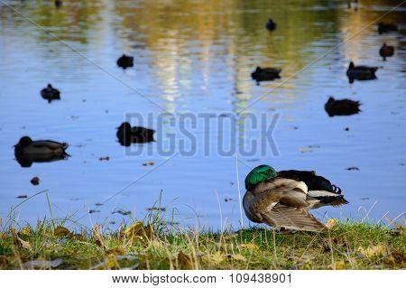 Drake resting on the banks of pond