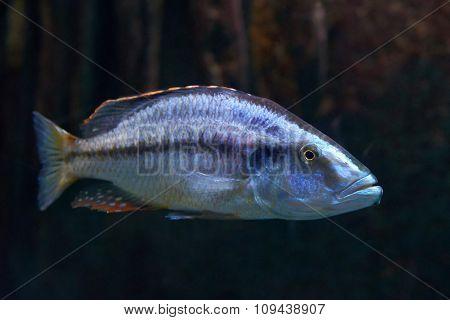 Malawi Eyebiter (dimidiochromis Compressiceps)