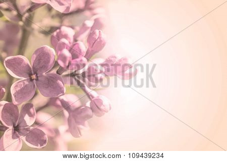 Sweet Color Petal Branch With Spring Rose Lilac Flowers On Pink Romantic Gradient Background