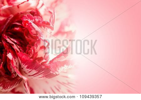 Sweet Color Petal Exotic Rose On Pink Romantic Gradient Background