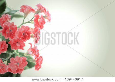 Red Flowers Of Kalanchoe Plant On Romantic Gradient Background