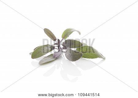 Sage Herb.