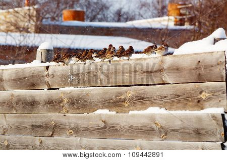 Sparrows In A Row On A Wooden Fence