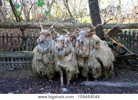 Flock Of Sheep In Low Lights Rural Scene