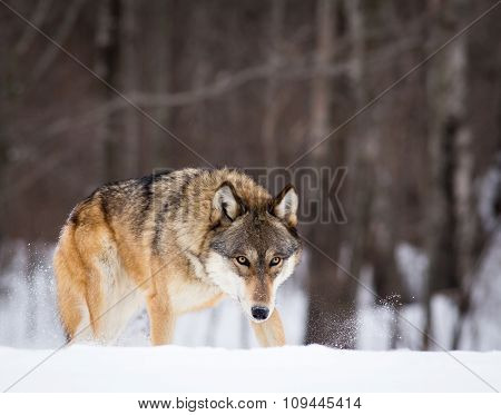 Wolf at edge of forest