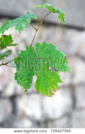 Grape leaf on blurred stone fence background