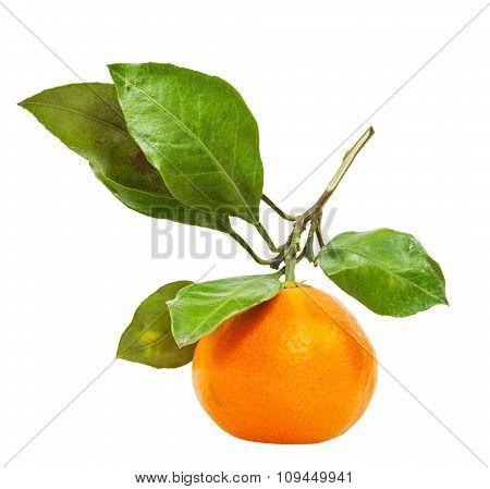 Twig With Fresh Ripe Abkhazian Mandarin Isolated