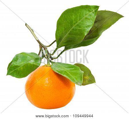 Twig With Fresh Ripe Abkhazian Tangerine Isolated