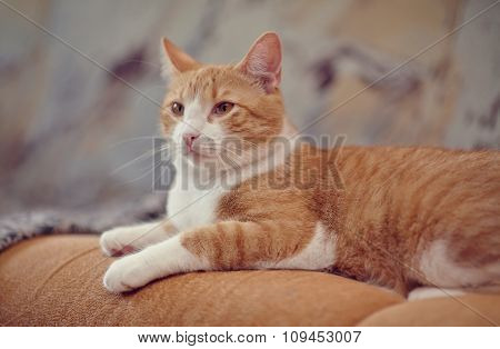The Red Domestic Cat