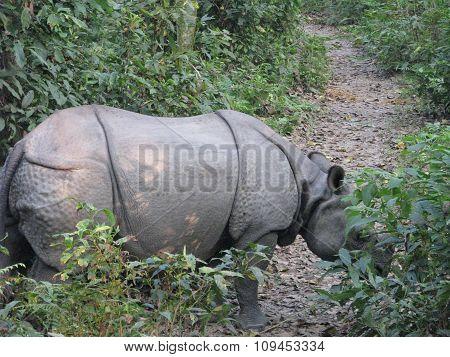 single-horned Asiatic rhinoceros