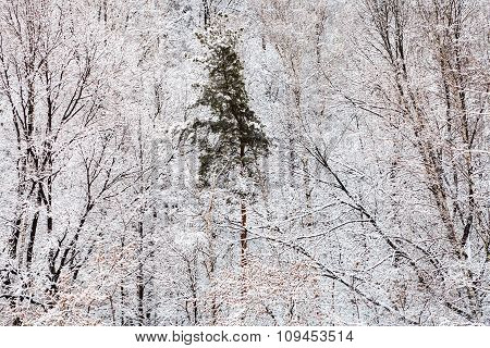 Pine Tree In White Snow Forest In Winter