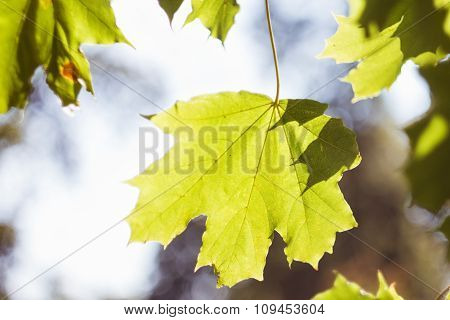 Green Maple Leaf Backlit By The Sun