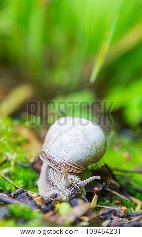 Crawler Snail In Spring Green Grass