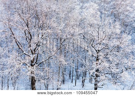 Snow Oak Trees In Forest In Winter Day