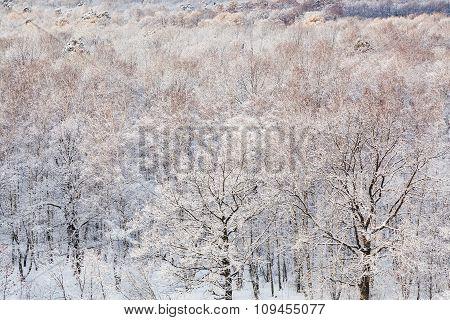 Snow Oak Trees In Frozen Forest In Winter
