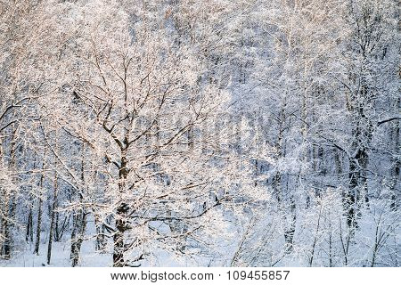 Snow Covered Oak Tree Illuminated By Sun In Forest