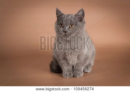 British blue kitten, Scottish straight.