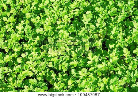 Field Of Green Leaf Mustard Background