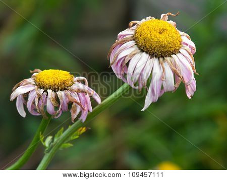 withered daisies
