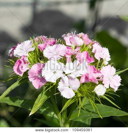 sweet william flowers