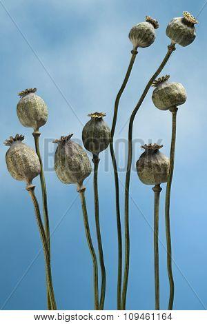 poppy plant against blue sky