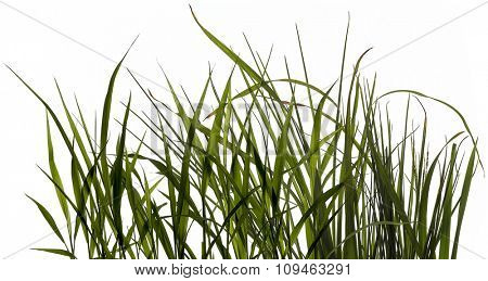 leaves of grass on white