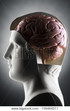 a human head model with a brain