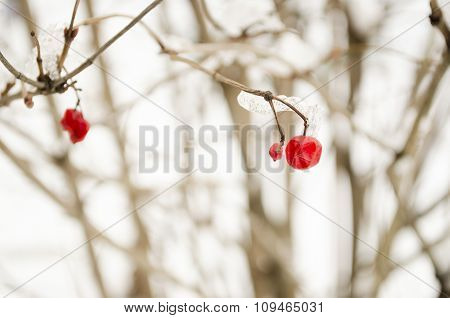 Viburnum In The Winter Background