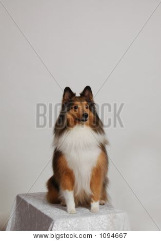 Collie Sitting Pretty For A Pose